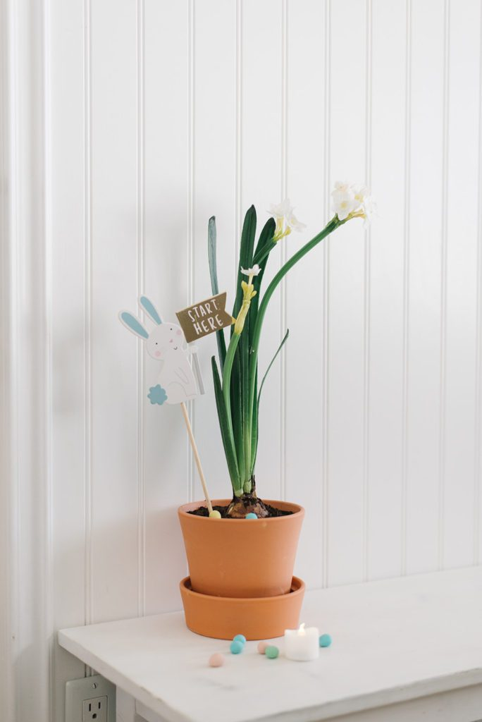 Paperwhites in terracotta pot decorated for Easter