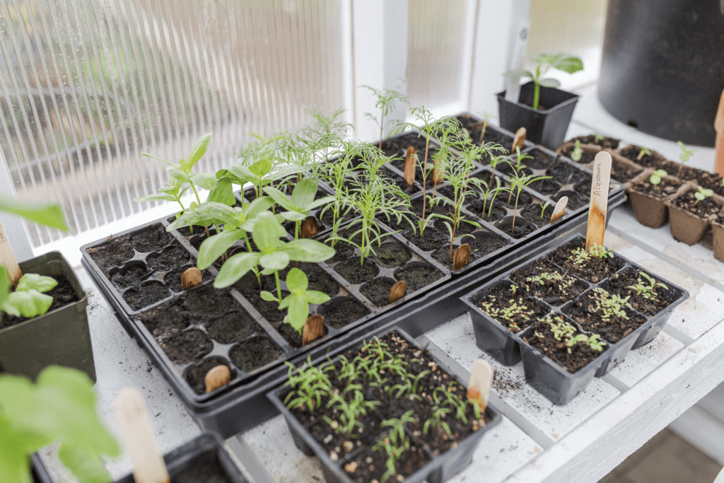 Seedling growing in trays in a greenhouse