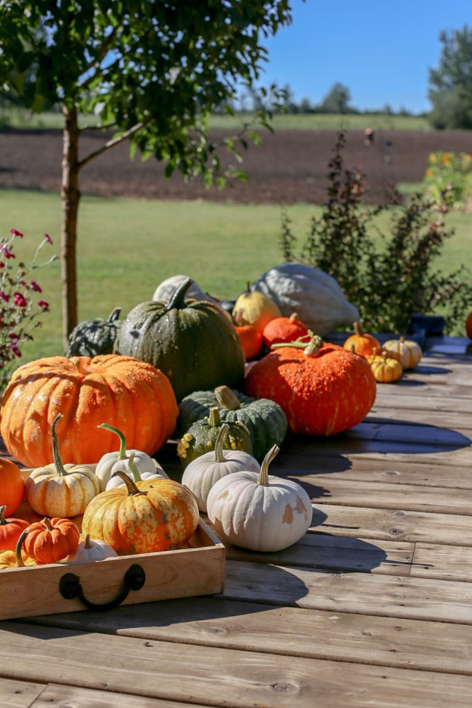 a large group of different kinds of pumpkins