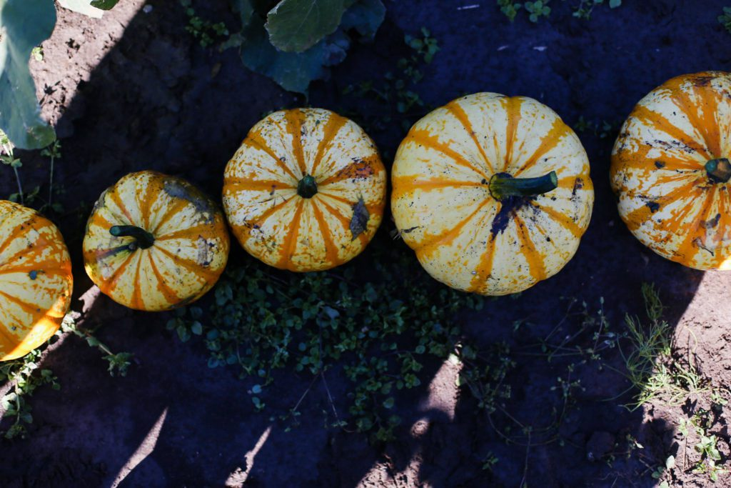 tiny pumpkins in a row sitting in the dirt