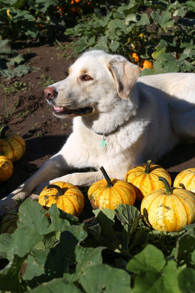 A dog lying on the ground beside pumpkins