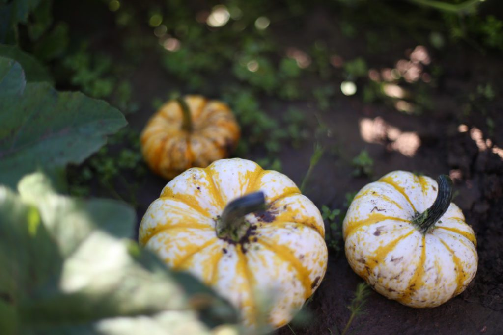 small white and yellow striped pumpkins