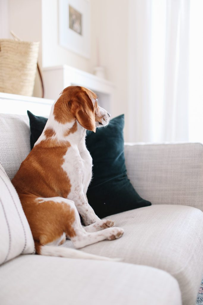 beagle sitting on a couch