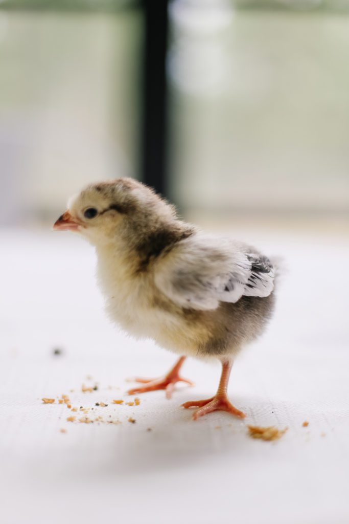 A baby Brahma chick standing over some starter feed