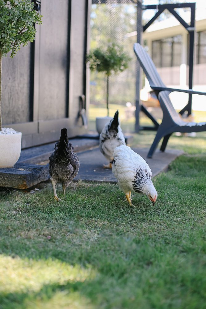 Chickens forage on grass in front of a dark shed