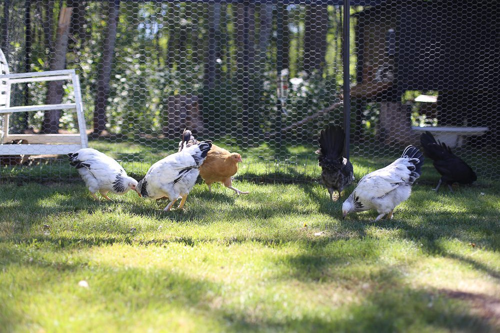 10 week old chicks free range on grass in front of a chicken coop