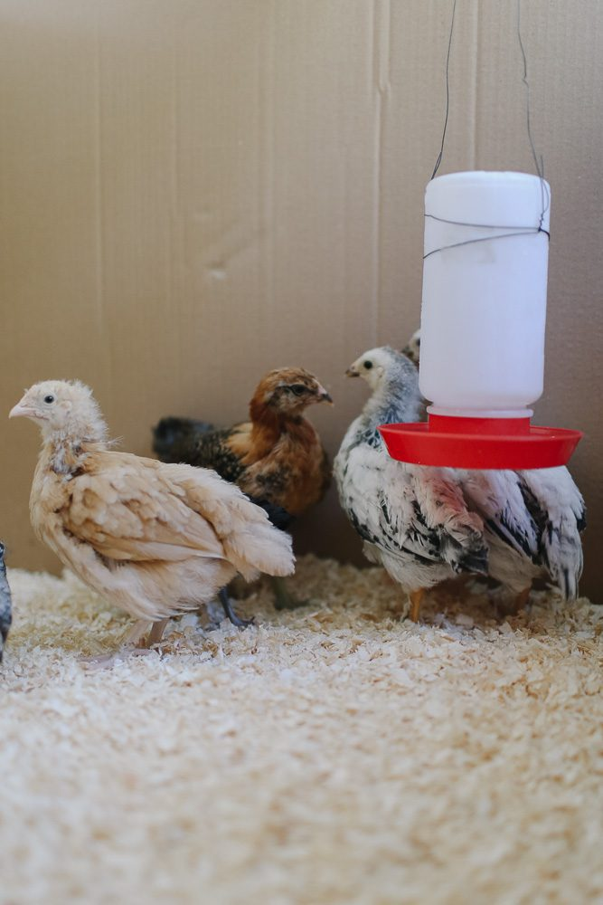 various coloured baby chicks